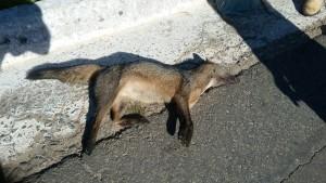 Canídeo do Campo (Pseudalopex ventutus) encontrado morto na rodovia MG 383 (Itajubá x Maria Da Fé)